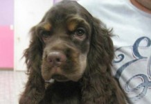 Cocker Spaniel Puppies for Sale Miami