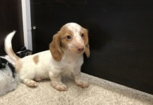Hairy Dachshund puppies for sale in Miami