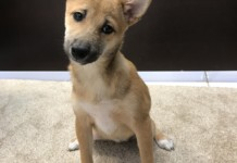 Shiba Inu puppies for sale in Miami