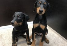 Dobermann puppies for sale in miami