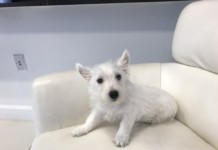 Westie puppies for sale in Miami