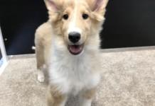 Collie puppy for sale in Miami