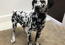 Dalmatian puppy for sale in Miami